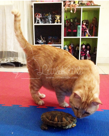 homeschool-pet-littlekittle-mamafiza-malaysia-kash-cat-turtle